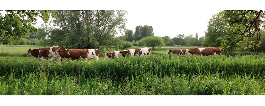 cows_walking_crop
